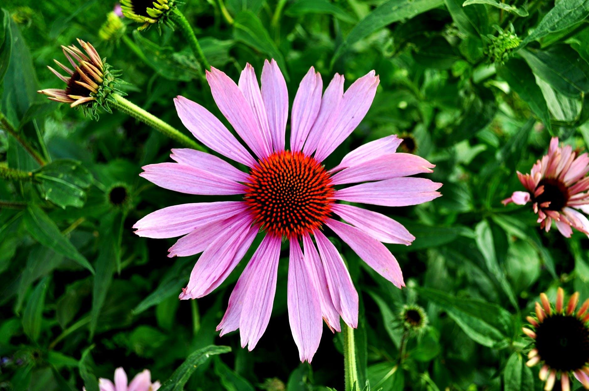 flowers garden plant pink